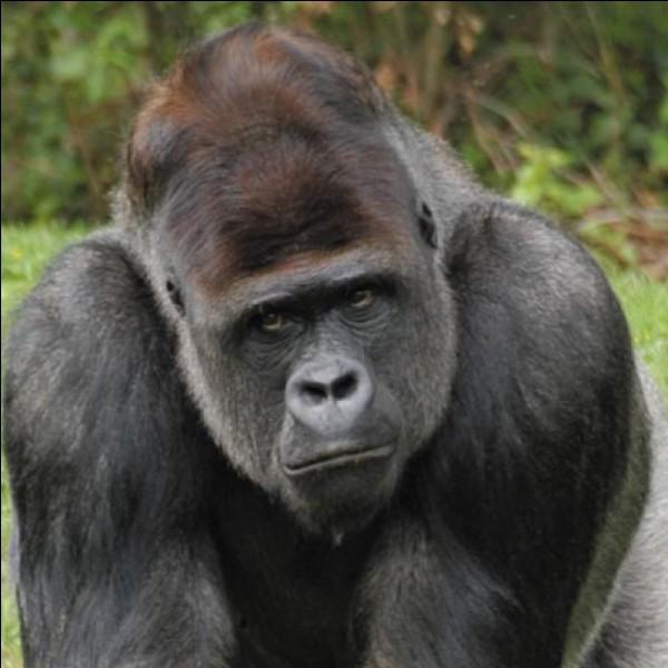 Comment appelle-t-on souvent les gros gorilles mâles à cause de la couleur de leurs poils ?