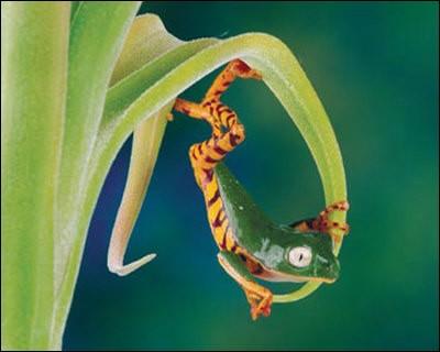 """Comment s'appelle la grenouille rose du film """"Rio 2"""" ?"""