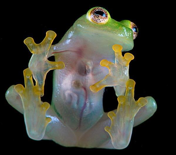 Comment s'appelle la grenouille fétiche de ce produit, issu de la marque Kellog's et composé de grains de blé soufflés au sucre et au sirop de glucose ?