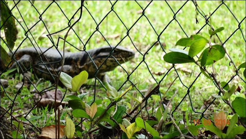 C'est un gros lézard que l'on trouve en Amazonie, destructeur d'oeufs et de poussins !