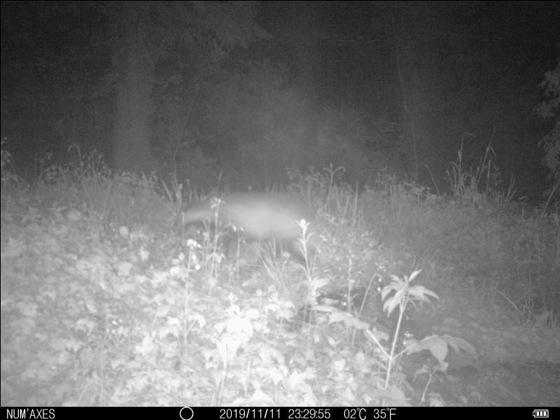 Photo prise de nuit dans les montagnes du Tarn, l'animal courait, allez-vous l'identifier ?