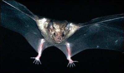 Pour s'orienter en volant, les chauve-souris utilisent ...
