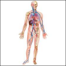 Dans le corps humain, où se situe le quadriceps ?