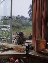 Comment s'appelle le hibou de la famille Weasley ?