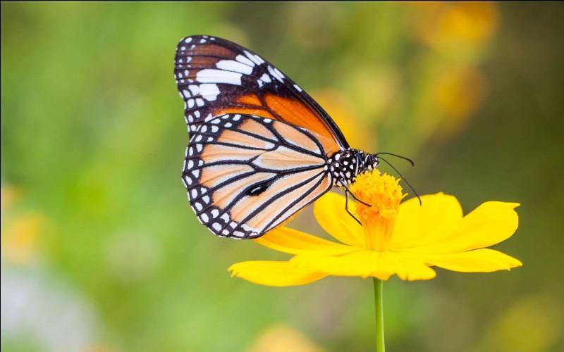 Quel nom donne-t-on à l'étape intermédiaire entre la chenille et le papillon ?