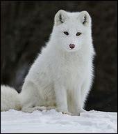Le renard polaire hiberne-t-il ?