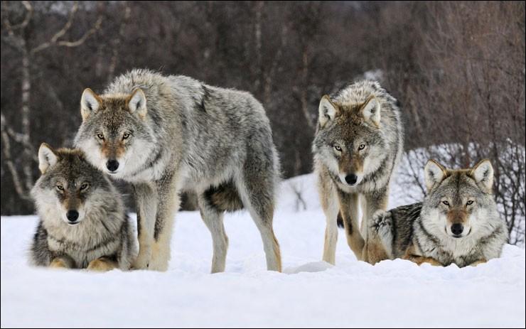 Le loup vit en meute de .... membres.