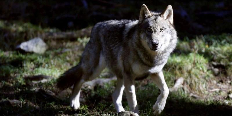 Dans combien de pays, le loup est-il présent ? Environ ...