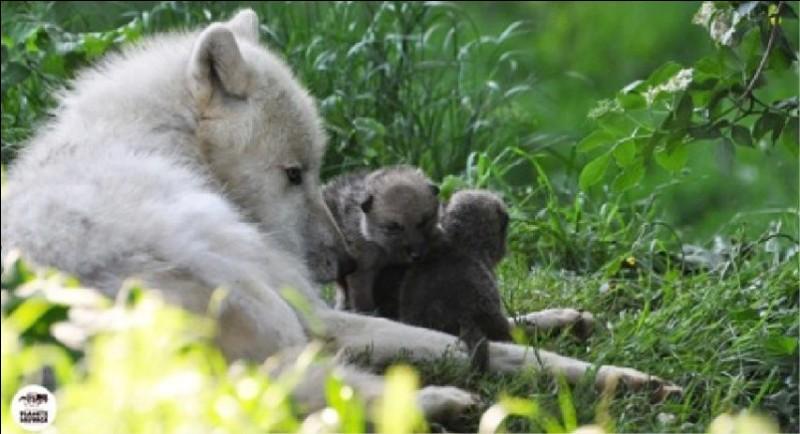 Les louveteaux naissent ...