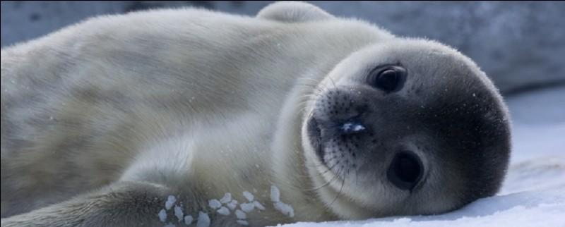 """Quel mammifère est également appelé """"veau marin"""" ?"""