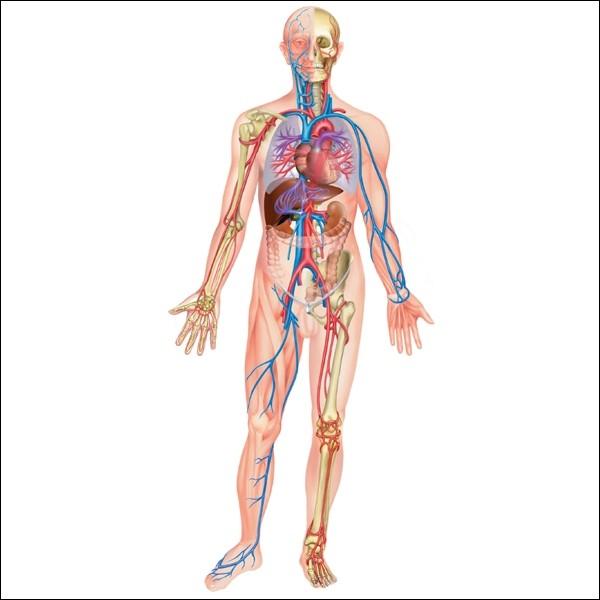 Quel organe du corps humain est touché par la maladie de Crohn ?