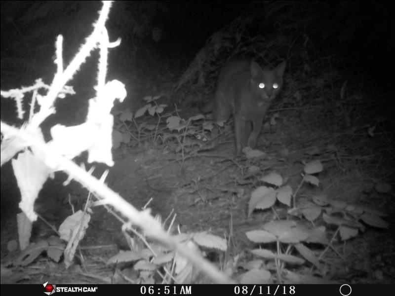 Lynx afro-asiatique !