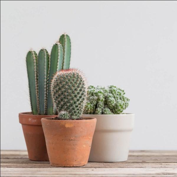 Le mot cactus vient du grec ancien κάκτος / káktos, désignant le chardon.