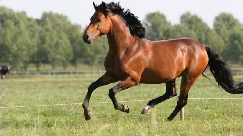 Quelle est l'allure de ce cheval ?