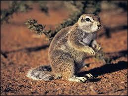 """""""X"""" comme """"xerus"""". Sur quel continent trouve-t-on ce genre de petit rongeur, proche cousin de l'écureuil, vivant dans le désert ?"""