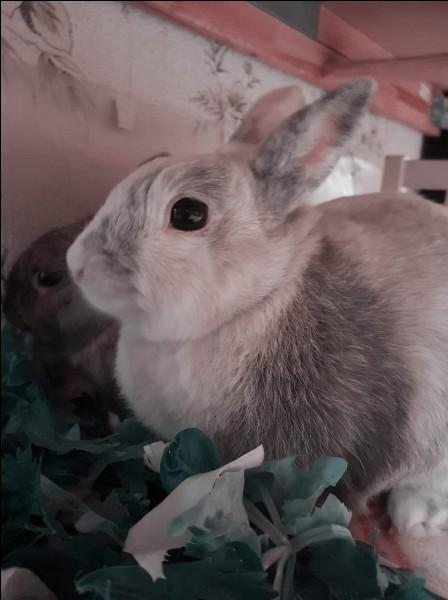 Quelle est la particularité des yeux du lapin ?