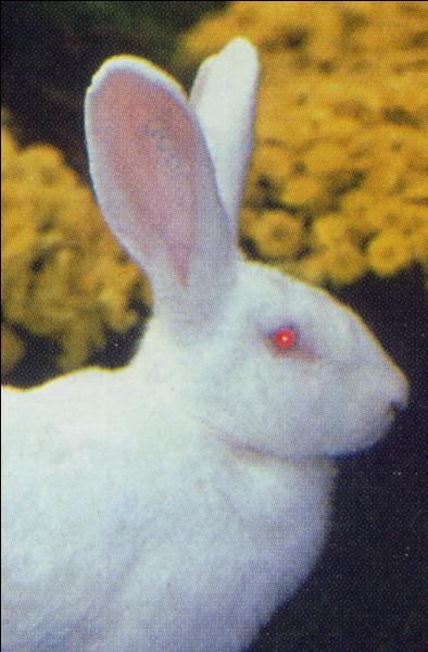 Pourquoi voit-on la couleur rouge des lapins albinos ?