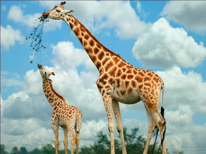 Le petit de la girafe s'appelle...