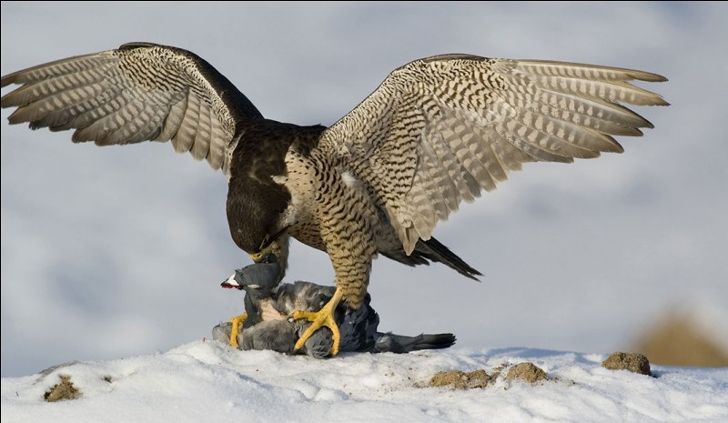 Comment appelle-t-on les animaux qui se font chasser par des prédateurs ?