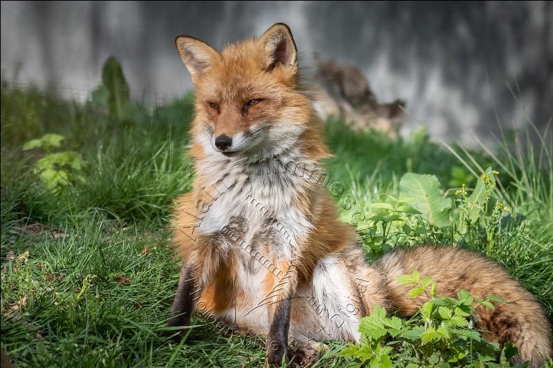 Quel est le statut du renard ?