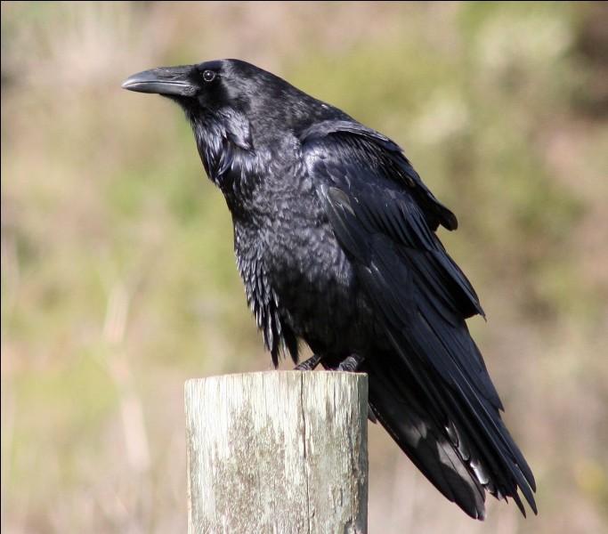 Quelle est l'espérance de vie chez le grand corbeau ?