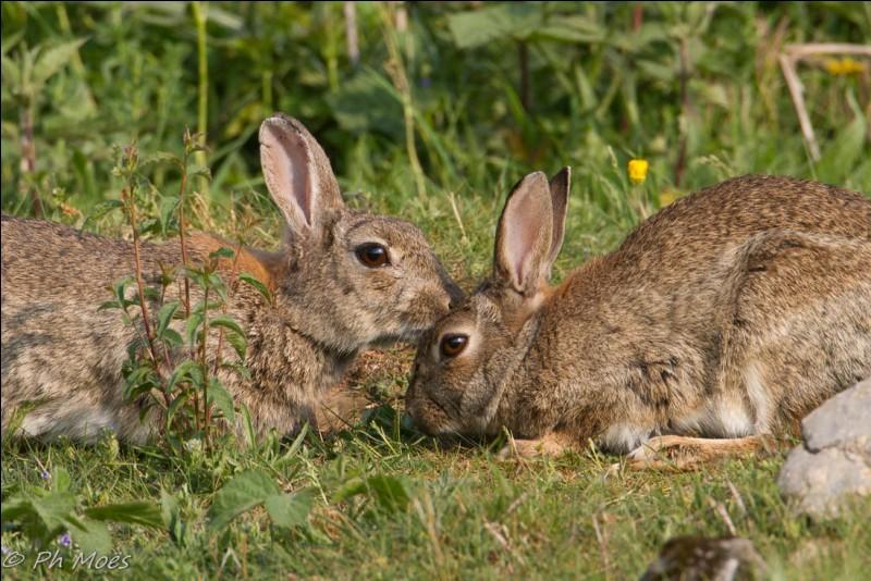 En moyenne, les lapins vivent en groupe de combien d'individus ?