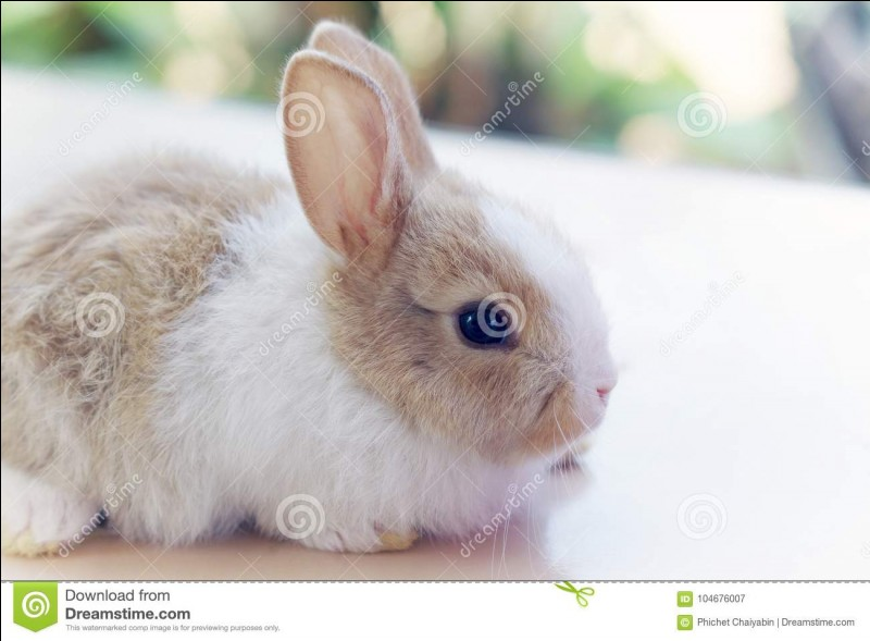 Ce lapin est angora.