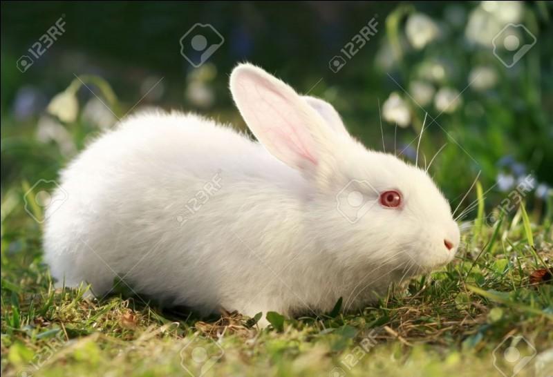 Ce lapin est albinos.