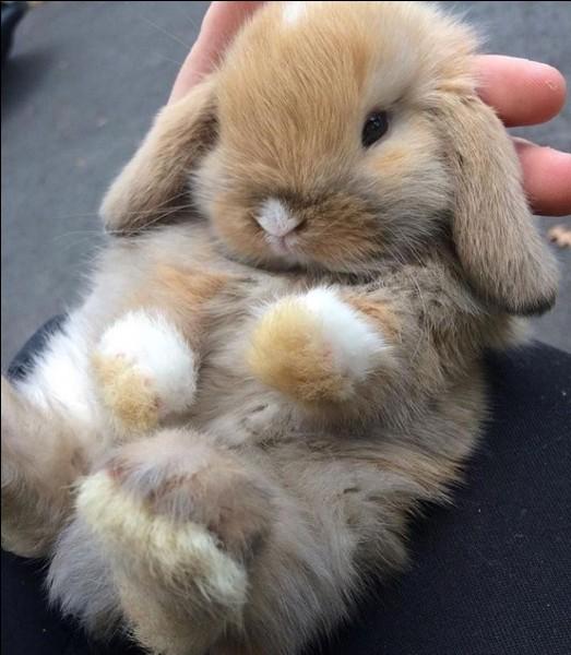 On dit que les lapins glougloutent.