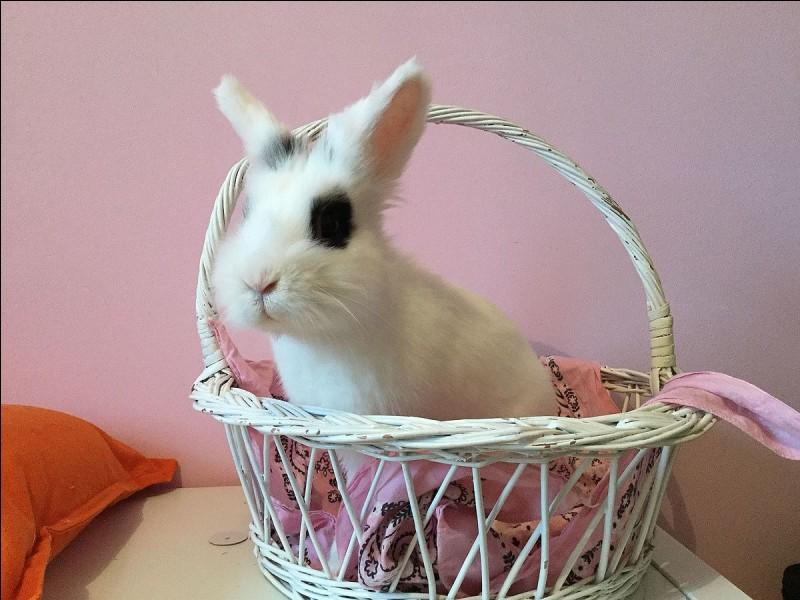 Le lapin nain est plus gros que le lapin.