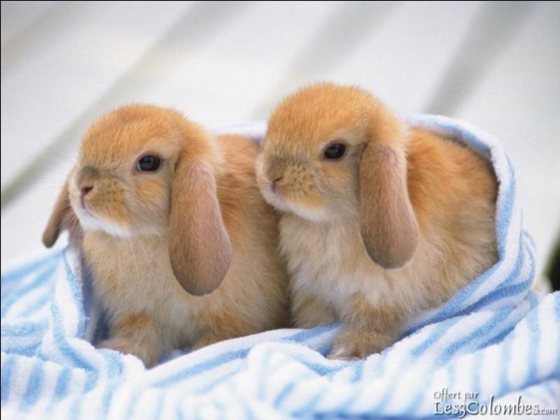 Quel âge donnerais-tu à ces lapins nains ?