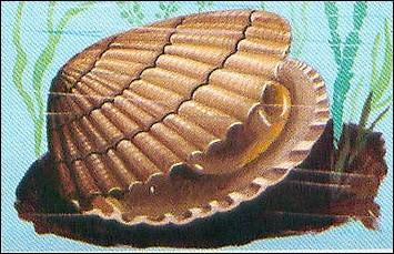 Mollusque bivalve comestible de la famille des Veneridae :
