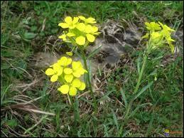 Nom usuel du sisymbre officinal (herbe aux chantres), plante de la famille des crucifères dont les fleurs sont petites et jaunes :
