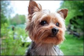 De quel pays est originaire le Yorkshire Terrier ?