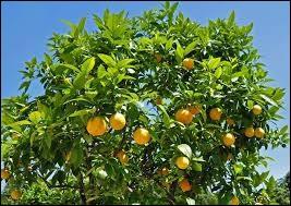 Quel est le pays leader de la production d'oranges ?