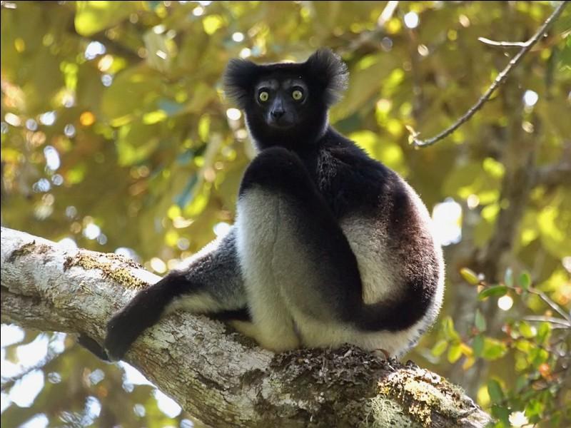 Quel est le nom malgache de l'indri ?