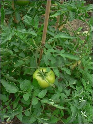 Les plants de tomates sont-ils autorisés pour les lapins ?
