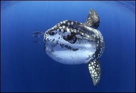"""Quel autre nom donne-t-on au poisson marin appelé """"môle"""" ?"""