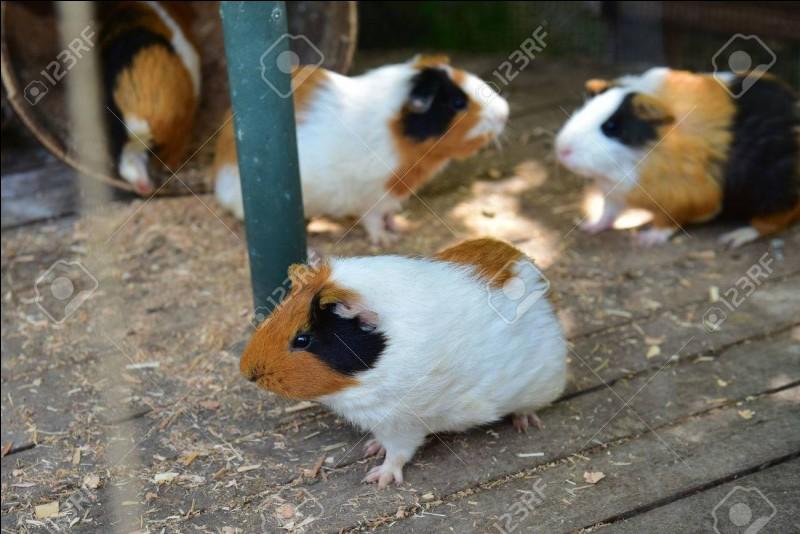 Les cochons d'Inde vivent...