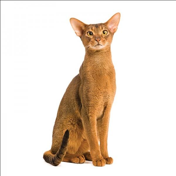 Quelle race est aussi appelée chat-lapin ?