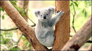 Où vivent les koalas qui sont en liberté ?