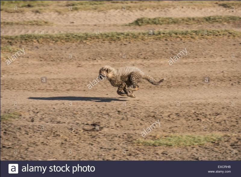 Quelle est la vitesse du guépard ?