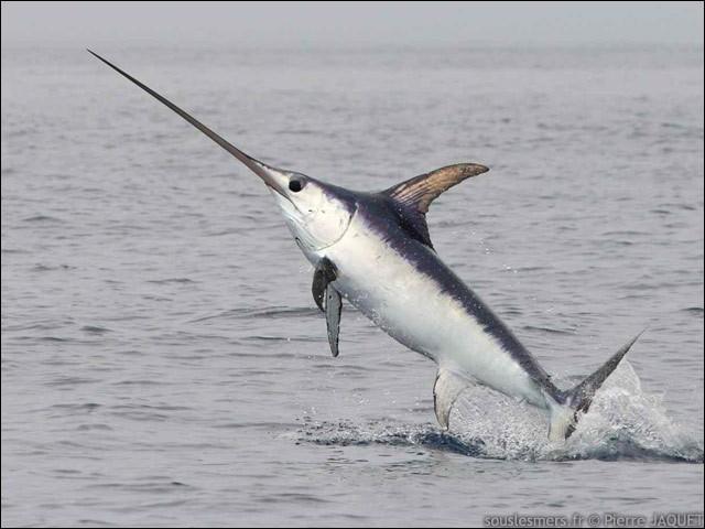 Quel est le poisson représenté ?