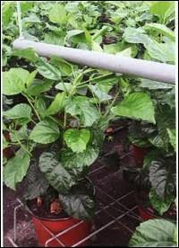 La thigmomorphogénèse est une méthode de régulation des plantes ayant une action :