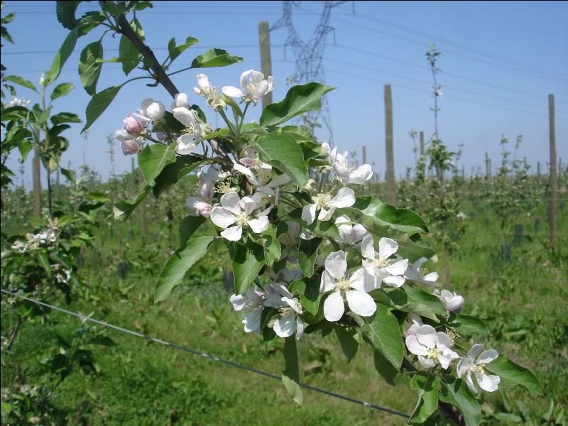 Il existe une action CEPP sur l'éclaircissage en arboriculture avec une substance naturelle. Quelle est cette substance ?