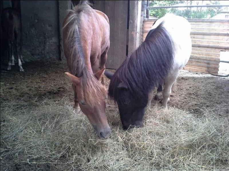Le poney n'est pas un cheval.