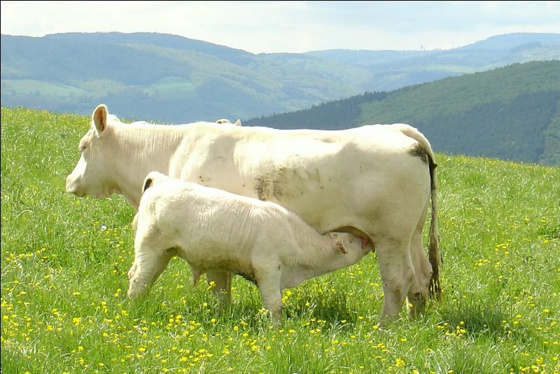 Comment s'appelle le petit de la vache ?