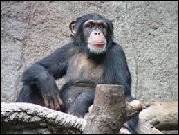 En liberté, sur quel continent vit le chimpanzé ?