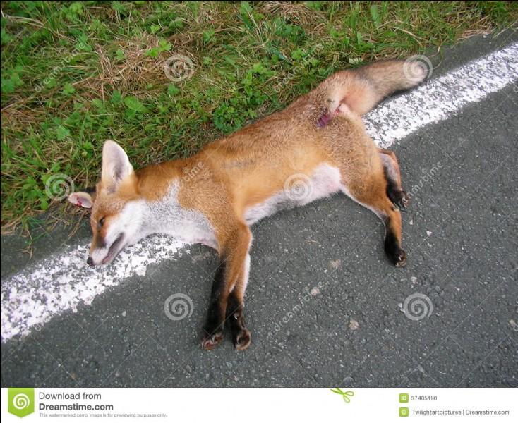 Lorsque Petit Lion, Petit Houx et Petit Geai veulent retrouver les renardeaux orphelins, quelle est la cause de la mort de la mère des renardeaux ?