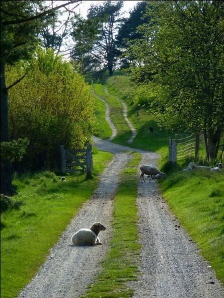 Quel joli coin de campagne où seuls les moutons et brebis animent le paysage ! Avec le lait de ces brebis, nous dégusterons la brique de Ségala produite tout près du village de Cordes sur Ciel :